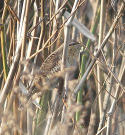 Wryneck photographed at Pulias [PUL] on 26/9/2011. Photo: © Mark Guppy