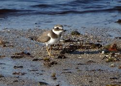 Ringed Plover photographed at Pulias [PUL] on 28/9/2011. Photo: © Cindy  Carre