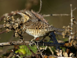 Wryneck photographed at Pulias [PUL] on 28/9/2011. Photo: © Mike Cunningham