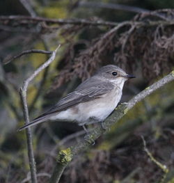 Spotted Flycatcher photographed at Chouet [CHO] on 30/9/2011. Photo: © Paul Bretel