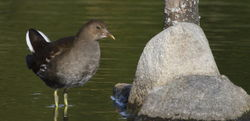Moorhen photographed at Select location on 1/10/2011. Photo: © Paul Bretel