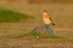 Wheatear photographed at Fort Doyle [DOY] on 2/10/2011. Photo: © Rod Ferbrache