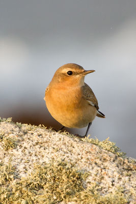 Wheatear photographed at Rousse [ROU] on 1/10/2011. Photo: © Rod Ferbrache