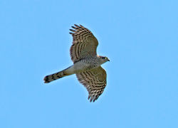 Sparrowhawk photographed at Vale Pond [VAL] on 3/10/2011. Photo: © Mike Cunningham