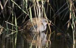 Water Rail photographed at Grands Marais/Pre [PRE] on 25/9/2011. Photo: © Paul Bretel