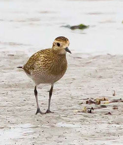 Golden Plover photographed at Shingle Bank [SHI] on 9/10/2011. Photo: © Allan Phillips
