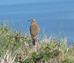 Wheatear photographed at Mt. Herault [MHE] on 15/10/2011. Photo: © Mark Guppy