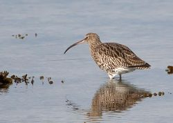 Curlew photographed at Shingle Bank [SHI] on 15/10/2011. Photo: © Allan Phillips
