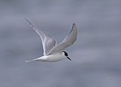 Arctic Tern photographed at Perelle [PER] on 19/10/2011. Photo: © Vic Froome