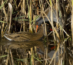 Water Rail photographed at Grands Marais/Pre [PRE] on 20/10/2011. Photo: © Mike Cunningham