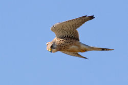 Kestrel photographed at Fort Hommet [HOM] on 22/10/2011. Photo: © Rod Ferbrache