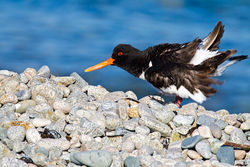 Oystercatcher photographed at Lihou Headland [LCH] on 3/7/2011. Photo: © steve levrier