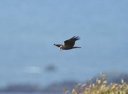 Marsh Harrier photographed at Pleinmont [PLE] on 25/10/2011. Photo: © Royston Carr�