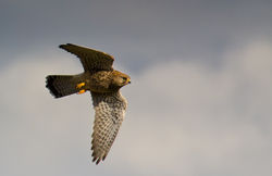 Kestrel photographed at Vale Pond [VAL] on 25/10/2011. Photo: © Anthony Loaring