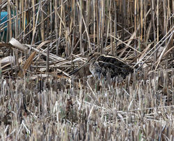 Snipe photographed at Claire Mare [CLA] on 26/10/2011. Photo: © Cindy  Carre