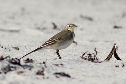 Pied Wagtail photographed at Vazon [VAZ] on 22/10/2011. Photo: © Rod Ferbrache