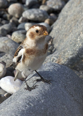 Snow Bunting photographed at Claire Mare [CLA] on 29/10/2011. Photo: © Cindy  Carre