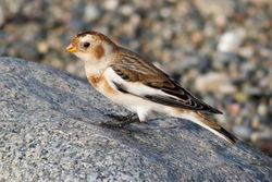 Snow Bunting photographed at Claire Mare [CLA] on 29/10/2011. Photo: © Rod Ferbrache
