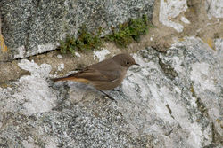 Black Redstart photographed at Imperial Hotel, Rocquaine on 29/10/2011. Photo: © Rod Ferbrache