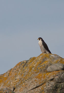 Peregrine photographed at L\'Eree [LER] on 29/10/2011. Photo: © Allan Phillips