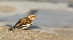 Snow Bunting photographed at Shingle Bank [SHI] on 29/10/2011. Photo: © Anthony Loaring
