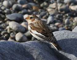 Snow Bunting photographed at L\'Eree [LER] on 29/10/2011. Photo: © Paul Bretel