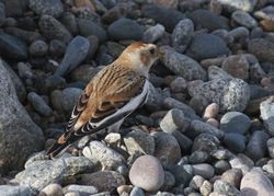 Snow Bunting photographed at Claire Mare [CLA] on 29/10/2011. Photo: © paul  carre