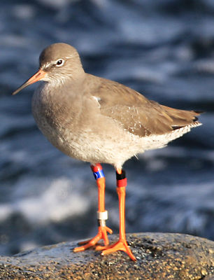 Redshank photographed at Perelle [PER] on 29/10/2011. Photo: © Vic Froome