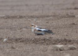Snow Bunting photographed at L\'Eree [LER] on 30/10/2011. Photo: © Mark Guppy