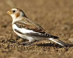 Snow Bunting photographed at Lihou Headland [LCH] on 31/10/2011. Photo: © Mike Cunningham