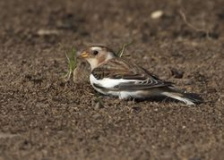 Snow Bunting photographed at Lihou Headland [LCH] on 31/10/2011. Photo: © Cindy  Carre