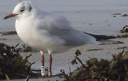 Black-headed Gull photographed at L\'Eree [LER] on 31/10/2011. Photo: © Vic Froome