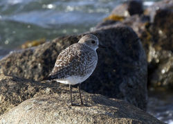Grey Plover photographed at Grand Havre on 1/11/2011. Photo: © Cindy  Carre