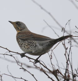 Fieldfare photographed at Pleinmont on 6/11/2011. Photo: © Paul Bretel