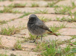 Black Redstart photographed at Mont Marche on 6/11/2011. Photo: © Adrian Gidney