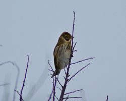 Reed Bunting photographed at Pleinmont [PLE] on 8/11/2011. Photo: © Royston Carr�