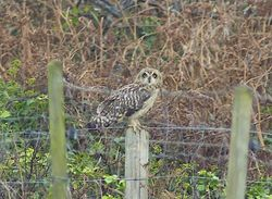 Short-eared Owl photographed at Pleinmont [PLE] on 10/11/2011. Photo: © Royston Carr�
