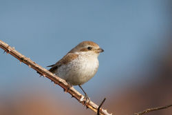 Red-backed Shrike photographed at Fort Hommet [HOM] on 13/11/2011. Photo: © Rod Ferbrache