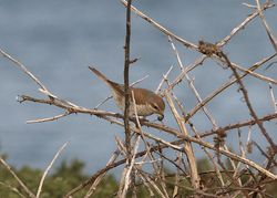 Red-backed Shrike photographed at Fort Hommet on 13/11/2011. Photo: © Cindy  Carre