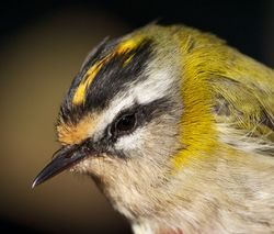 Firecrest photographed at Jerbourg [JER] on 29/10/2011. Photo: © Phil Alexander