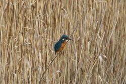 Kingfisher photographed at Vale Pond [VAL] on 19/11/2011. Photo: © Steve and Hilary Wild