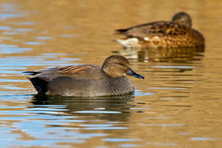 Gadwall photographed at Claire Mare [CLA] on 19/11/2011. Photo: © Chris Bale