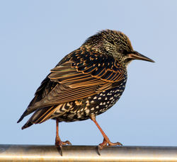 Starling photographed at Castle Cornet [CAS] on 19/11/2011. Photo: © Rod Ferbrache