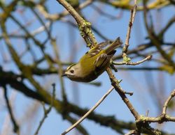 Goldcrest photographed at St Peters Church [SP2] on 27/11/2011. Photo: © Mark Guppy