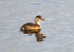 Little Grebe photographed at Vale Pond [VAL] on 26/11/2011. Photo: © Allan Phillips