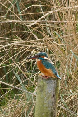 Kingfisher photographed at Vale Pond on 19/11/2011. Photo: © Rod Ferbrache