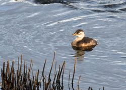 Little Grebe photographed at Vale Pond [VAL] on 27/11/2011. Photo: © paul  carre