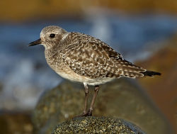 Grey Plover photographed at Rousse [ROU] on 30/11/2011. Photo: © Mike Cunningham