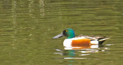 Shoveler photographed at Saumarez Park [SAU] on 3/12/2011. Photo: © Anthony Loaring