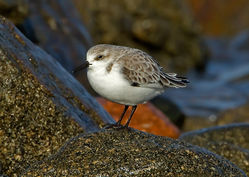 Sanderling photographed at Rousse [ROU] on 30/11/2011. Photo: © Mike Cunningham